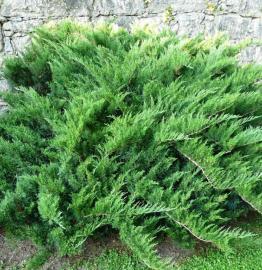 "Можжевельник казацкий ""Tamariscifolia"" Тамарисцифолия d-1,40-1,50m. Фото"