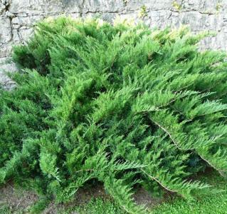 "Можжевельник казацкий ""Tamariscifolia"" Тамарисцифолия d-0,9-1,00m. Фото"